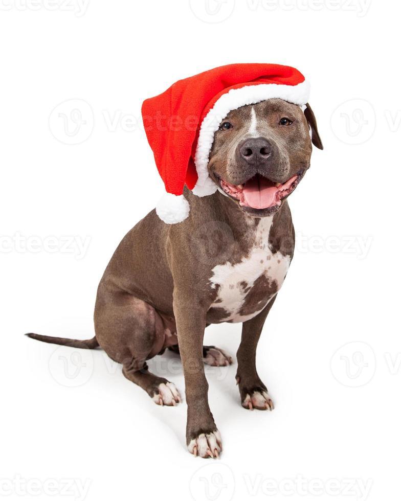 pit bull bär jul santa hatt foto