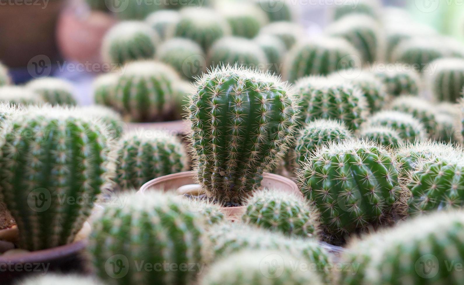 grön kaktus med nålmönster foto