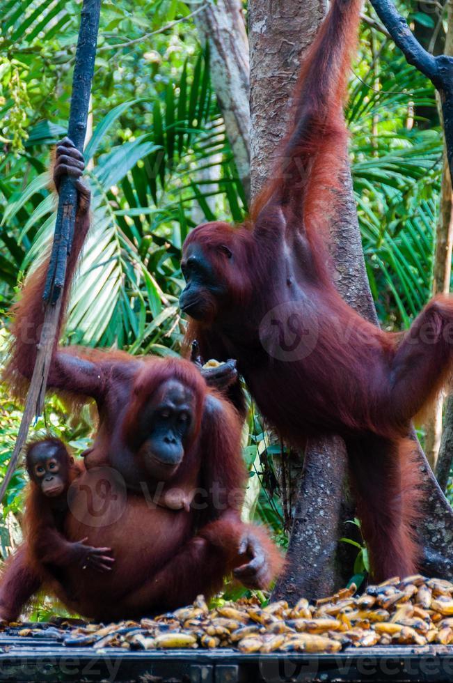 två orang utan hänger på ett träd i djungeln foto