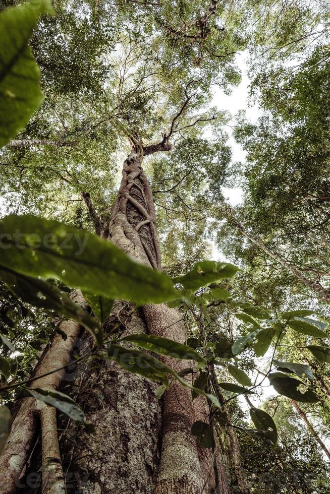 högt träd med parasit i en djungel av Thailand foto