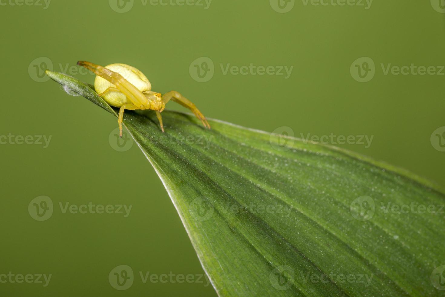 den gula krabba spindeln, (misumena vatia) foto
