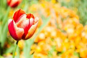 röd gul tulpan