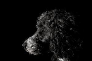 profilskott av svart pudelhund som stirrar intryckt foto