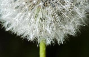 tidigare blom maskrosdetalj
