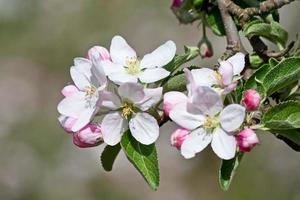 äppelträdgård foto