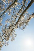vackra magnolia blommar på våren foto