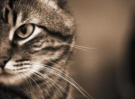 porträtt av tabby katt foto