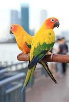 sun conure fågel foto