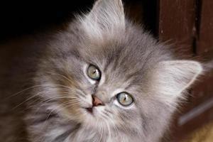 vacker grå kattunge foto