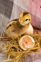 kycklingar som kläckts från ägg foto