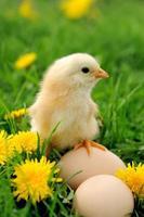 liten kyckling på gräset foto