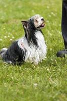 biewer yorkshire terrier tittar upp på sin mästare foto