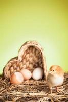 våren med födelsen av den lilla kycklingen foto