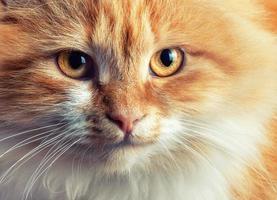 porträtt av vacker rödhårig katt foto