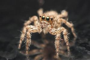 hoppande spindel. foto