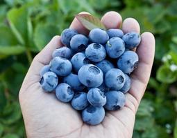 blåbär i mans händer. foto