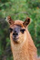 nyfiken lama tittar på kameran foto