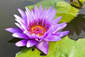 näckros eller lotusblomma i dammet.