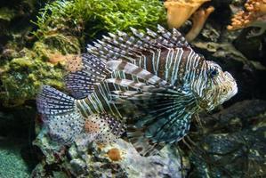 spotfin lejonfisk eller bredbredd eldfisk eller pterois antennata foto