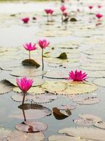 Lotus damm landskap.