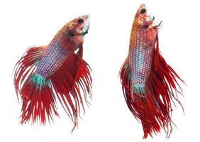 siamese slåssfisk med röd krona, betta splendens. foto