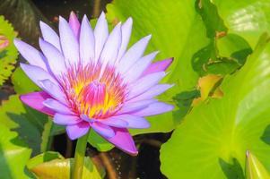 lila lotus foto