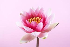 näckros, lotus på rosa foto