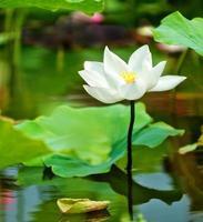 blomma för lotusblomma foto