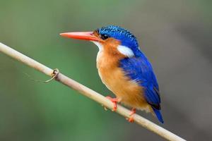 malachite kingfisher foto