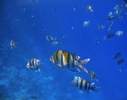 tropiska exotiska fiskar under vattnet. Röda havet foto