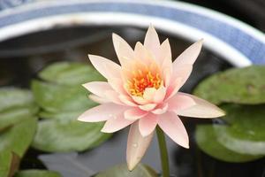 vackra rosa lotusblommor.