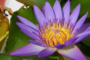 närbild vacker lila näckros pollen