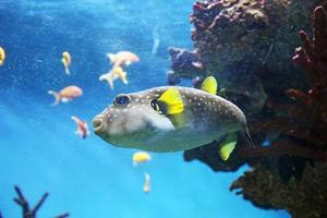 blåsfisk foto