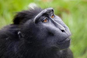 krönad makak foto