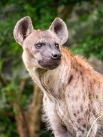 hyena foto