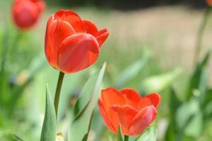 röda tulpaner tre på stjälkar. foto