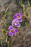 vårlila krokusblommor i trädgården foto