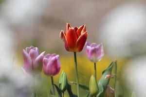 färgade tulpaner på en bakgrund av suddigt gräs foto