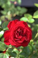 röda rosor i en trädgård foto