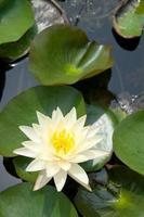 thai lotus i damm foto