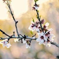 vårrosa mandelblomning foto