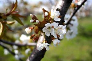 körsbärsblomning på ett träd. foto