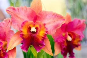 närbild av den vackra thailändska orkidéblomman foto