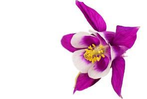 aquilegia blomma isolerad foto