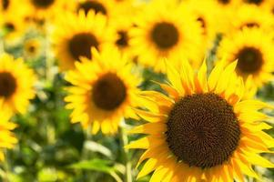 guld solfält av solrosor i Toscana, Italien foto