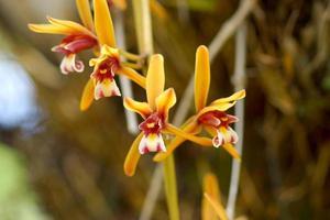 vacker orkidéblomma av cymbidium finlaysonianum.