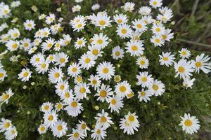 daisy. foto
