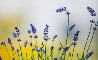 vacker lavendel i min blommaträdgård foto