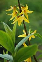 forsythia blommor foto