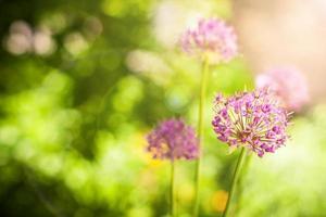 vackra violetta blommor av allium aflatunense fält foto